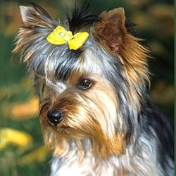 Grooming Yorkie Things You Need To Know Before You Get A Yorkie